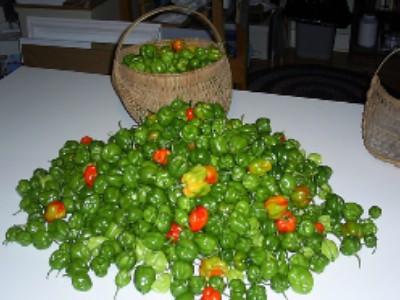 Habenero Harvest